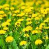Использование полевых растений в питании и для пользы организма